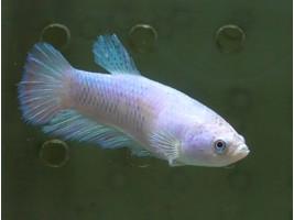 Рыбка петушок халфмун самка светлая (1437 Акварыбки Ферма)