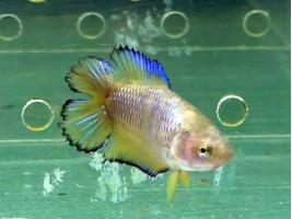 Рибка півник двохвостий самка жовта (1234 Акварибкі Ферма)