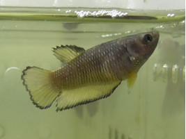 Рыбка петушок халфмун самка желтая (1415 Акварыбки Ферма)
