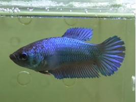 Рыбка петушок халфмун самка синяя (1241 Акварыбки Ферма)