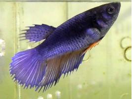 Петушок корона самка синя (1047 Акварибкі Ферма)