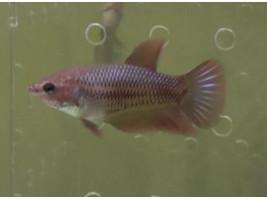 Петушок халфмун самка красная (1201 Акварыбки Ферма)