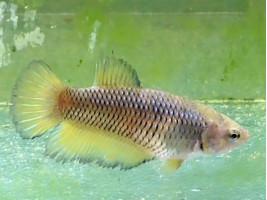 Рыбка петушок супердельта самка желтая (1259 Акварыбки Ферма)
