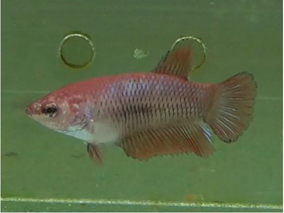 Рыбка петушок халфмун самка красная (1326 Акварыбки Ферма)