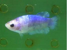 Рибка півник халфмун самка світла (1364 Акварибкі Ферма)