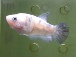 Рыбка петушок халфмун самка светлая (1379 Акварыбки Ферма)