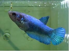 Рибка півник халфмун самка синя (1246 Акварибкі Ферма)