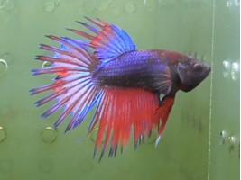 Рыбка петушок корона самец разноцветный (1411 Акварыбки Ферма)