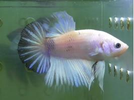 Рыбка петушок плакат самец белый (1358 Акварыбки Ферма)