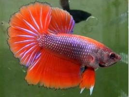 Петушок халфмун самець червоний (1053 Акварибкі Ферма)