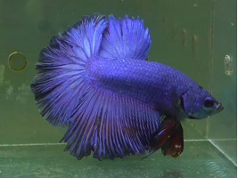 Петушок халфмун самец синий (1322 Акварыбки Ферма)